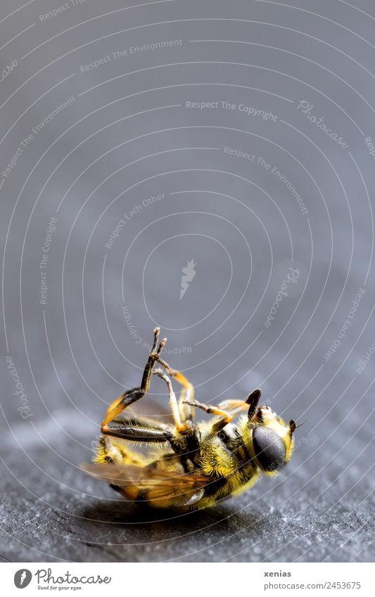 Schwebfliege, gelb-schwarz gestreift, tot Totes Tier Fliege 1 liegen grau Tod Fliegenbein Insektenauge Mimikry Insektensterben Farbfoto Studioaufnahme