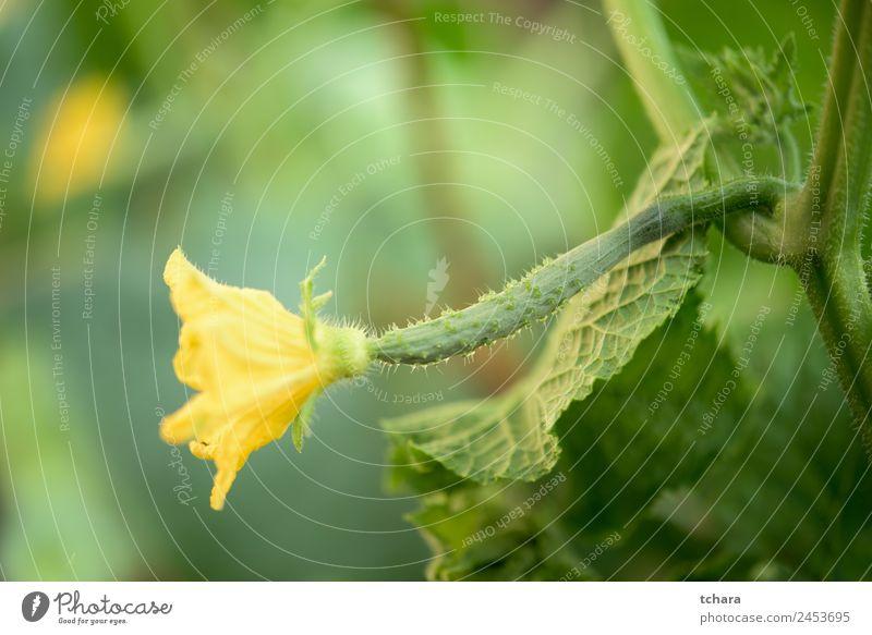 Junge Gurkenpflanze Gemüse Sommer Garten Gartenarbeit Natur Pflanze Blume Blatt Blüte Wachstum frisch natürlich gelb grün Farbe Salatgurke organisch