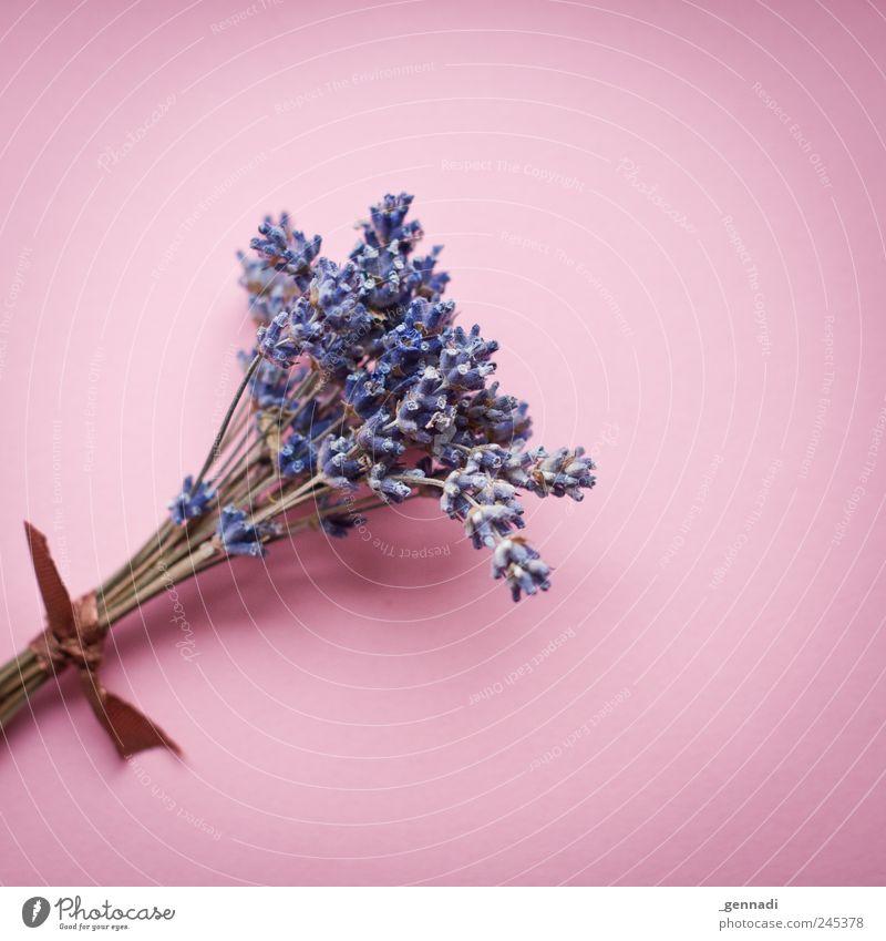 Gebunden Pflanze Farbe ruhig rosa Sträucher weich violett Quadrat Duft Kräuter & Gewürze Lavendel Bündel Grünpflanze Klischee gebunden Geschenkband
