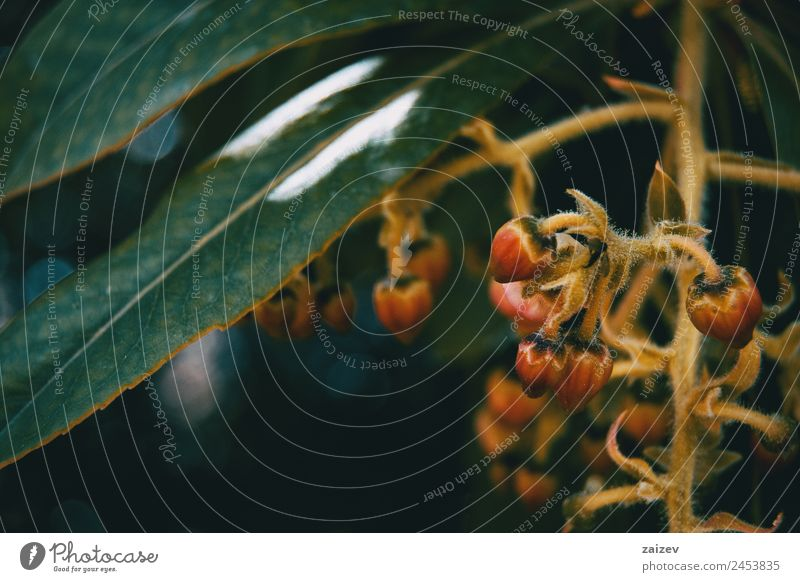 Kleine Blüten von Arbutus unedo in der Natur schön Sommer Garten Umwelt Pflanze Baum Blume Sträucher Blatt Grünpflanze Nutzpflanze Wildpflanze Park Wiese Feld