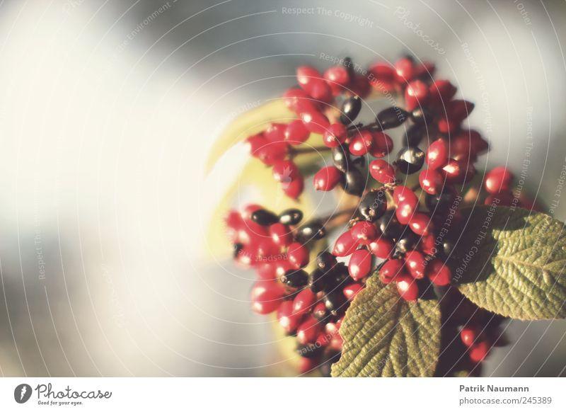 Beeren grün Baum Sommer rot Pflanze Farbe Tier schwarz Frühling Gesundheit leuchten ästhetisch einzigartig berühren genießen Blühend