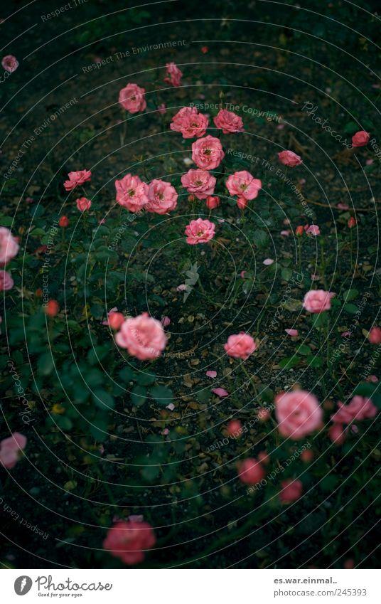 rosarot schön Pflanze rosa Rose Blühend