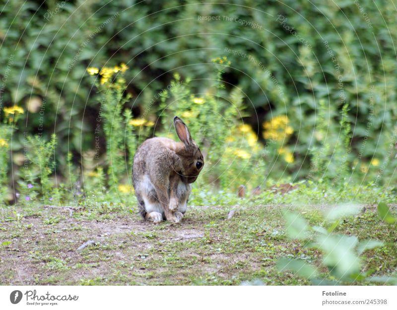 Fellpflege Umwelt Natur Pflanze Tier Erde Sommer Blume Gras Blüte Park Wiese Wildtier Pfote natürlich Reinigen Hase & Kaninchen Ohr Farbfoto mehrfarbig