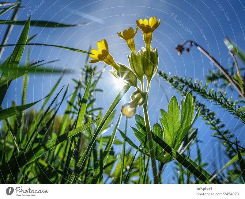 Gegenlicht Umwelt Natur Frühling Pflanze Blume Gras Blüte Wildpflanze blau gelb grün Frühlingsgefühle Farbfoto Außenaufnahme Nahaufnahme Textfreiraum links