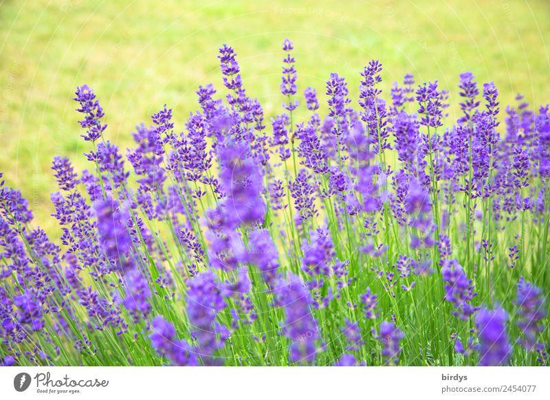 Lavendel Natur Sommer Pflanze Farbe schön grün Blume gelb Blüte natürlich Garten ästhetisch frisch authentisch Schönes Wetter Blühend