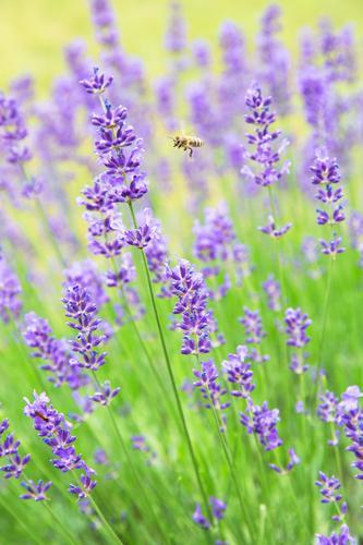 lecker Lavendel Natur Pflanze Tier Sommer Schönes Wetter Blüte Garten Biene 1 Blühend Duft fliegen ästhetisch authentisch positiv gelb grün violett Gesundheit
