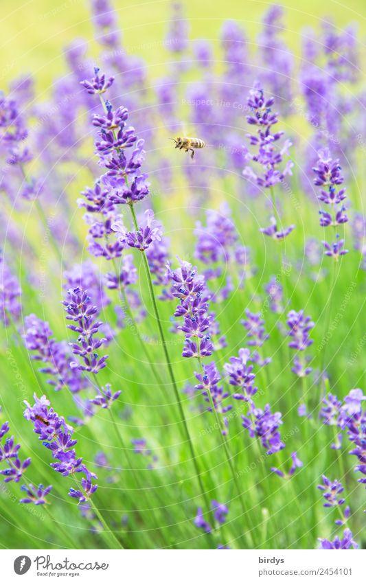 lecker Lavendel Natur Sommer Pflanze grün Tier gelb Gesundheit Blüte Garten fliegen Zufriedenheit ästhetisch authentisch Schönes Wetter Blühend Hoffnung