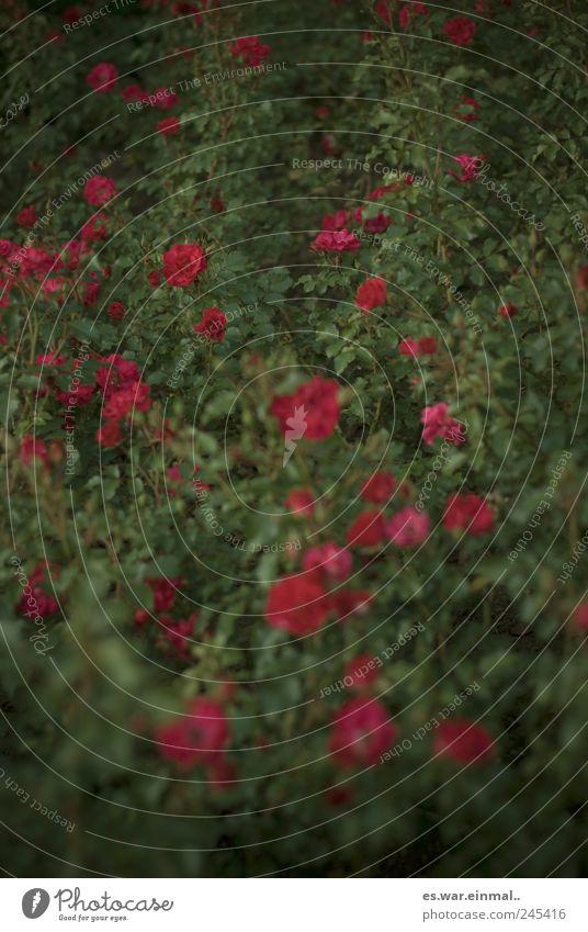 rosenrot schön Blüte Rose Romantik Blühend Duft Verliebtheit
