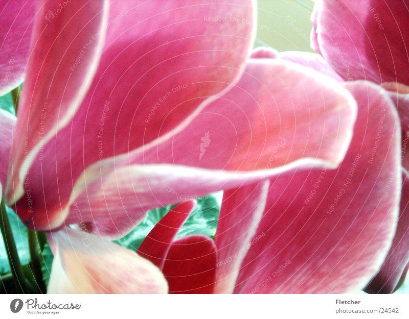 Blume schön Pflanze ruhig rosa Duft magenta