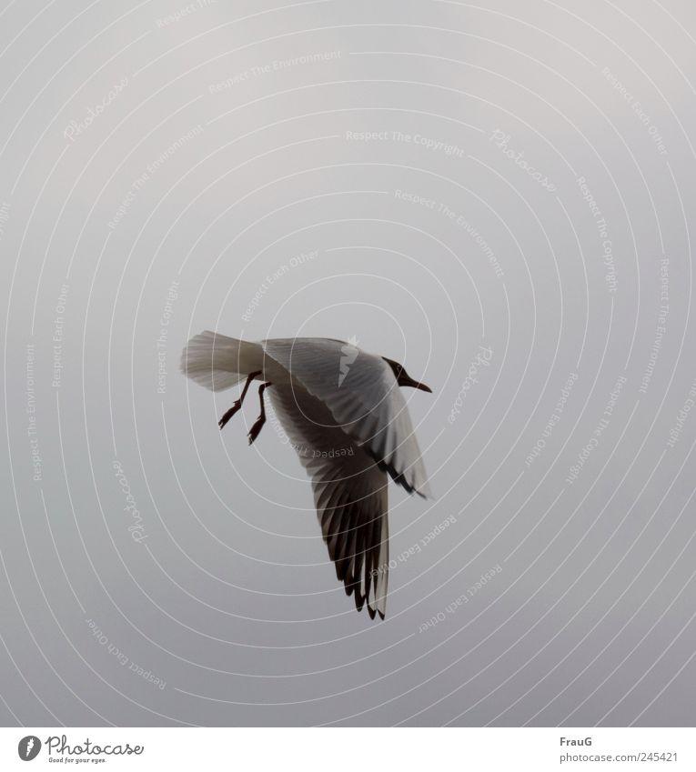 Hängen lassen Himmel weiß Tier Erholung schwarz grau außergewöhnlich fliegen Luftverkehr Feder Flügel Schnabel Krallen Verkehr