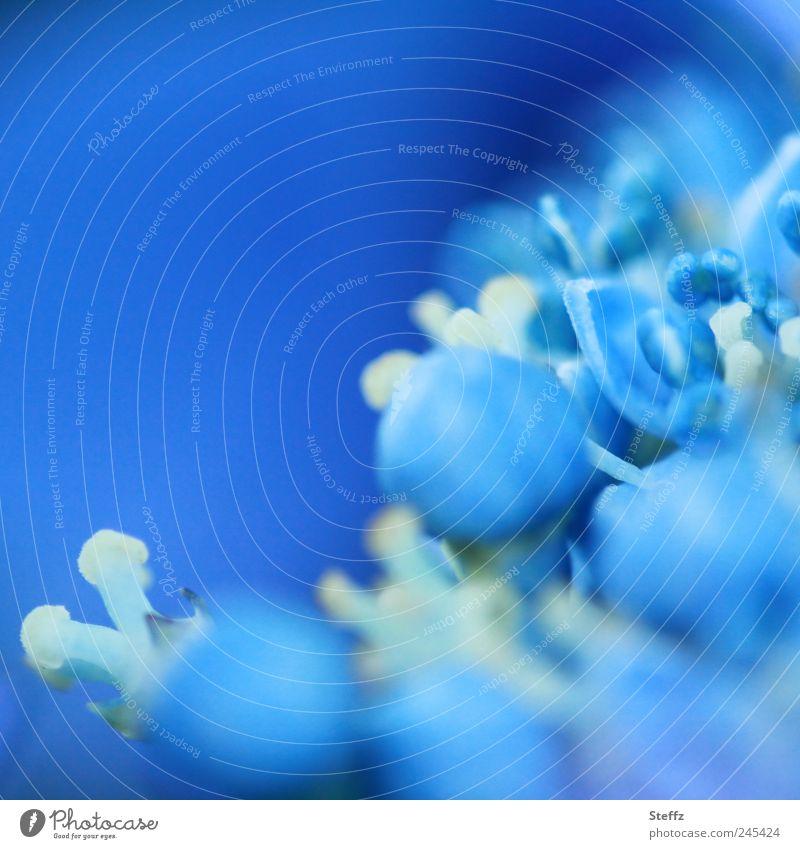 blaue Hortensie Hortensienblüte hellblau Hydrangea blaue Blume Jungpflanze Sommerfarbe Gartenhortensie Blütenknospen Blühend nah Romantik Blauton
