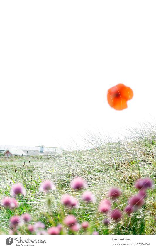 Einmal die Sonne sein! Natur Ferien & Urlaub & Reisen Pflanze Erholung Gefühle Gras hell Lebensfreude Sommerurlaub Mohn Sinnesorgane Dänemark Anatomie