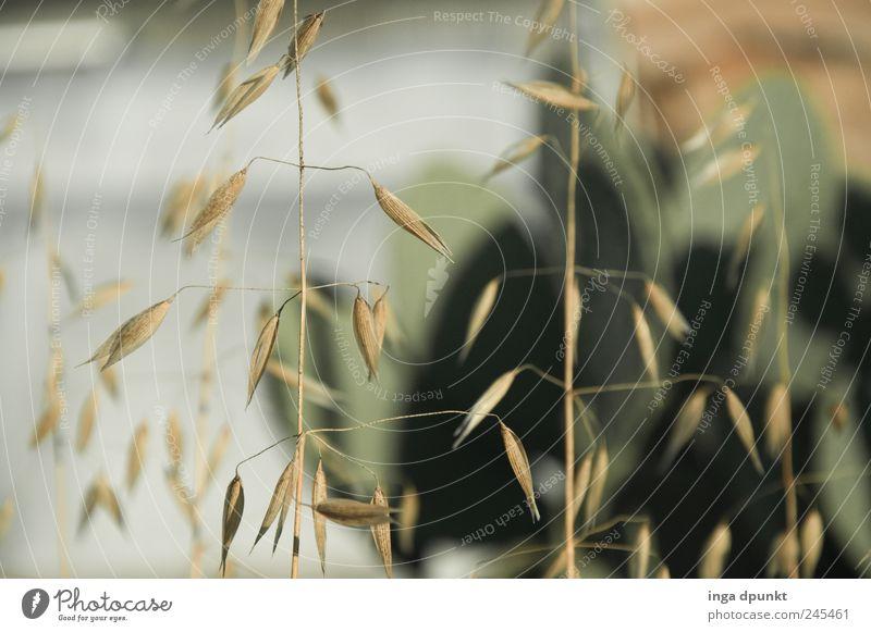 Spätsommer Natur Pflanze Sommer gelb Umwelt Gras Blüte Feld Klima trocken Landwirtschaft Ernte Appetit & Hunger Durst Dürre