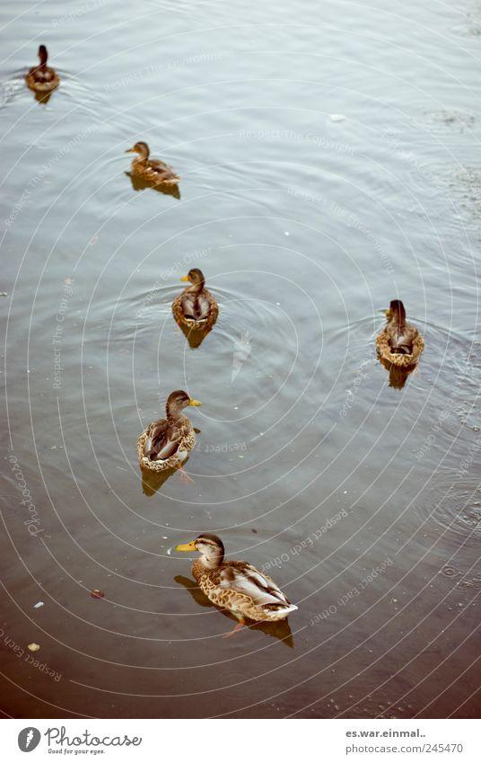 performance vergessen Wasser Schwimmen & Baden Ente Teich Schnabel
