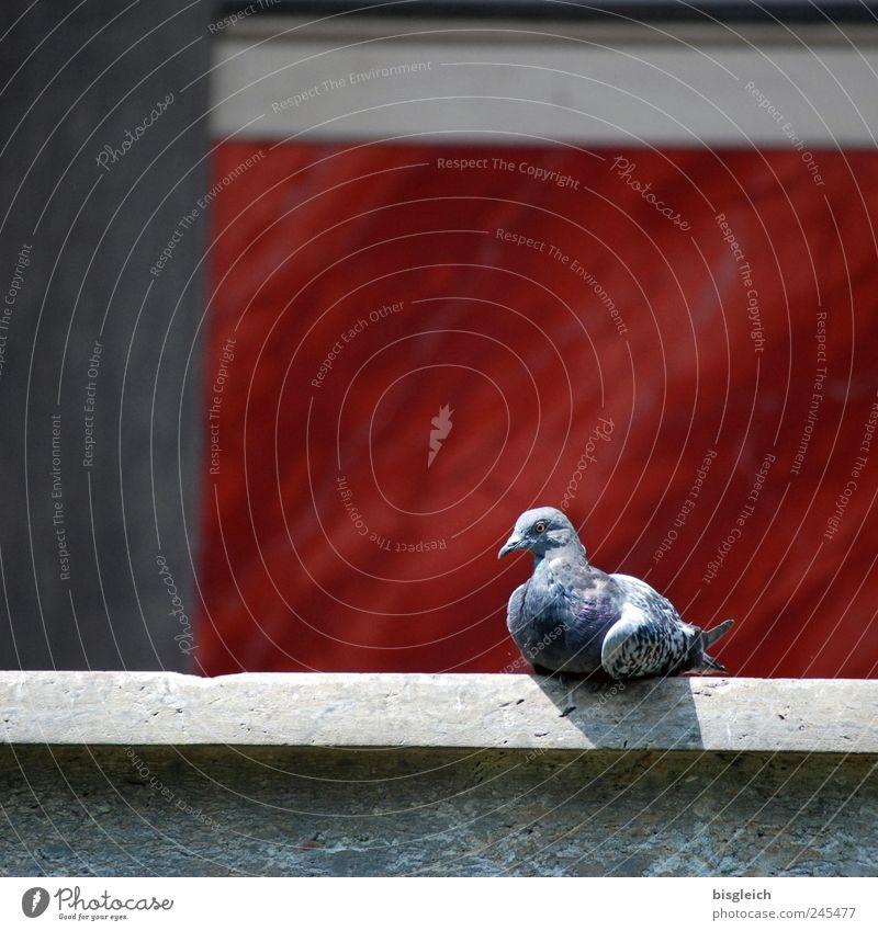 Taube Tier Vogel 1 sitzen grau rot Erholung Gelassenheit ruhig Zufriedenheit Sonnenbad Farbfoto Außenaufnahme Menschenleer Textfreiraum oben Tag