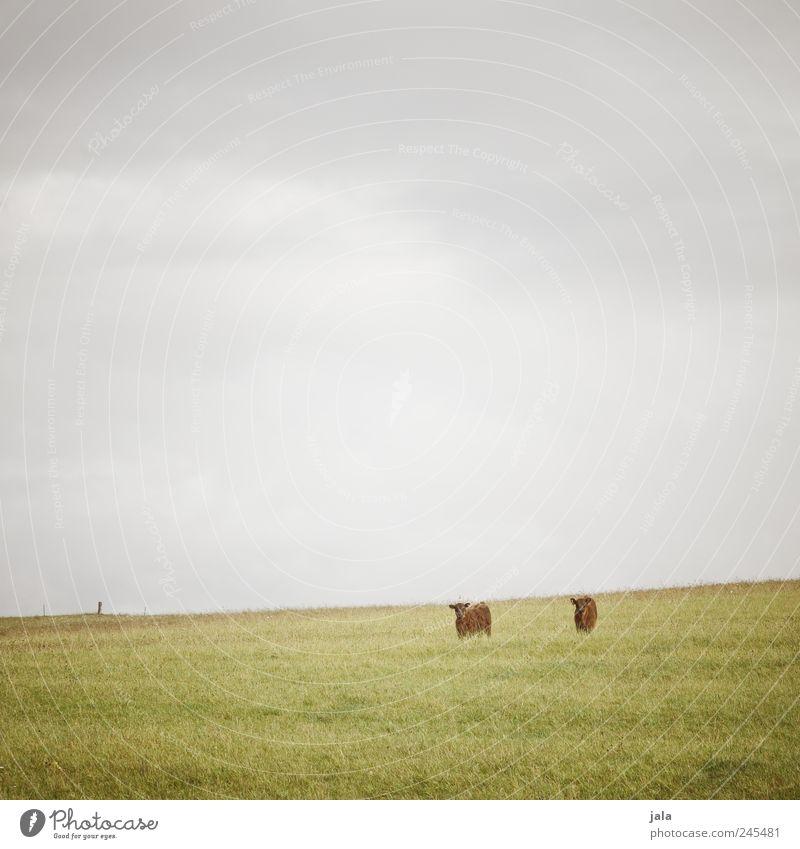 doppeltes lottchen Himmel Natur Pflanze Tier Wiese Gras Landschaft Umwelt Unendlichkeit Kuh Grünpflanze Nutztier Schottisches Hochlandrind