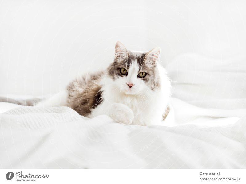 Kater Tier Haustier Katze Tiergesicht Fell 1 hell schön Hauskatze langhaarig Türkisch Angora liegen ruhig Tierliebe Farbfoto Gedeckte Farben Innenaufnahme