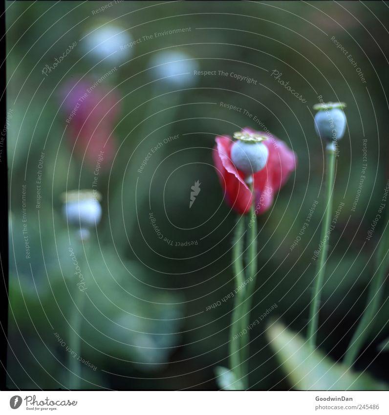 Hyde Park Natur blau schön rot Pflanze Blume Wiese Umwelt elegant frisch trist nah