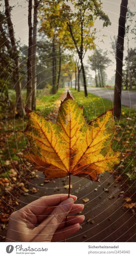 Ahornblatt Natur Pflanze Sonnenaufgang Sonnenuntergang Herbst Schönes Wetter Baum Blatt Laubbaum Wärme Landleben Farbfoto Außenaufnahme Menschenleer Sonnenlicht