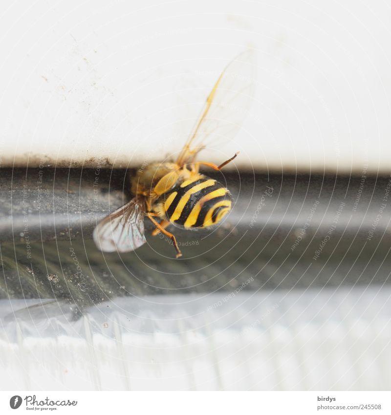 Kamikaze schwarz Tier gelb Tod PKW Verkehr gefährlich Flügel Insekt Biene leuchten bizarr Autofahren Spalte Autoscheinwerfer Opfer