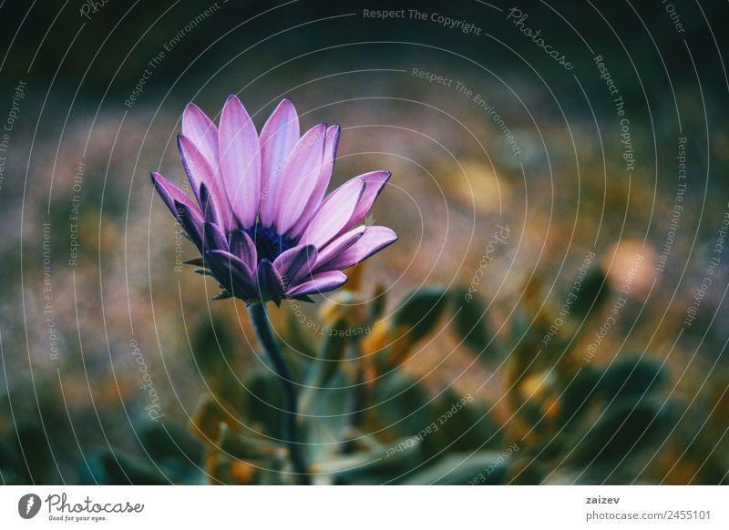 Nahaufnahme der fliederfarbenen Blume von Osteospermum ecklonis Sommer Garten Tapete Umwelt Natur Pflanze Sträucher Blatt Blüte Grünpflanze Nutzpflanze