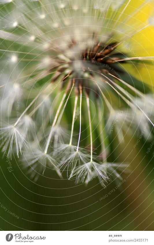 Löwenzahn Leben harmonisch Spa Garten Umwelt Natur Pflanze Frühling Sommer Blume Wildpflanze Samen Unkraut Blühend ästhetisch authentisch natürlich gelb grün