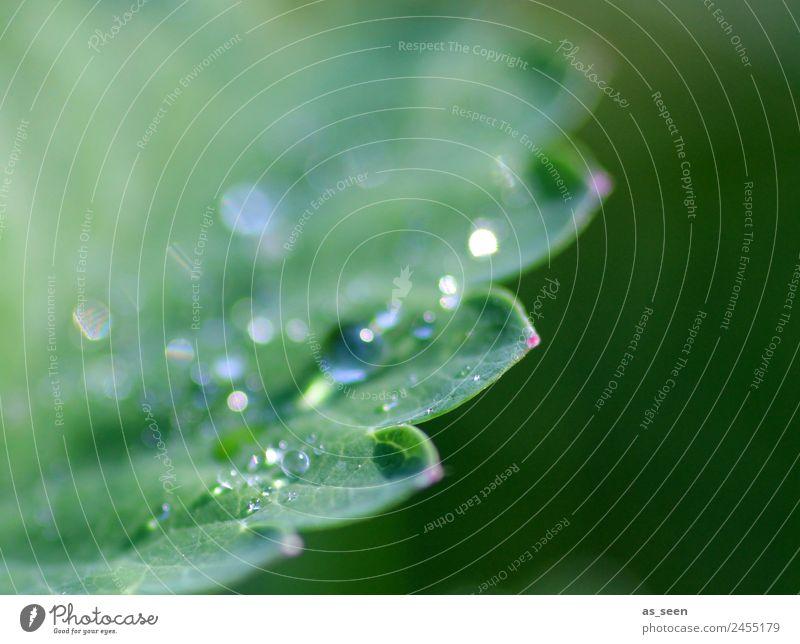 Tautropfen auf Blatt Design Leben harmonisch Sinnesorgane ruhig Garten Umwelt Natur Pflanze Wasser Wassertropfen Frühling Sommer Regen Grünpflanze glänzend