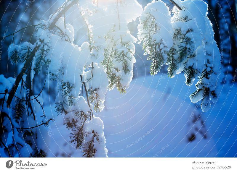 Winterkiefer Kiefer Baum Wald Schnee Ast Menschenleer Natur natürlich Finnland nordisch Skandinavien Finnisch kalt Coolness