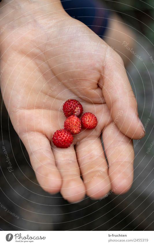 Klein - aber lecker Frucht Bioprodukte Kind Hand Sommer festhalten frisch Gesundheit Wald-Erdbeere pflücken reif Ernte Süßwaren Außenaufnahme Nahaufnahme