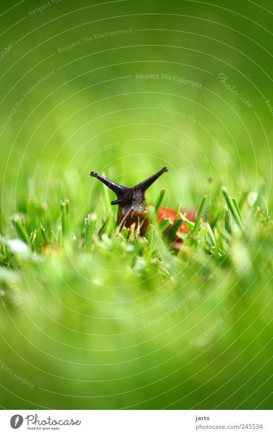 ich bin nackt... Natur Pflanze Wiese Gras Wildtier Schnecke Tier