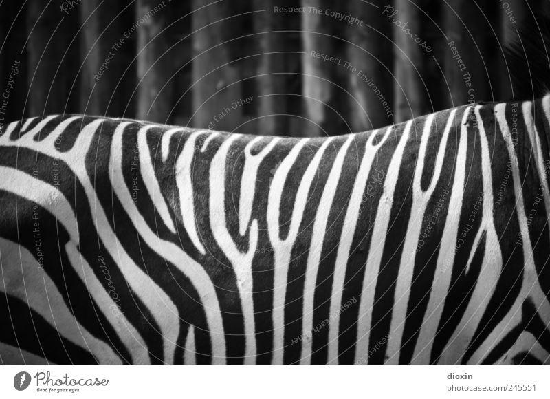 Schwarzweißphoto Tier Wildtier Fell Zoo Zebra 1 stehen schwarz Muster Streifen Zebrastreifen Schwarzweißfoto Menschenleer