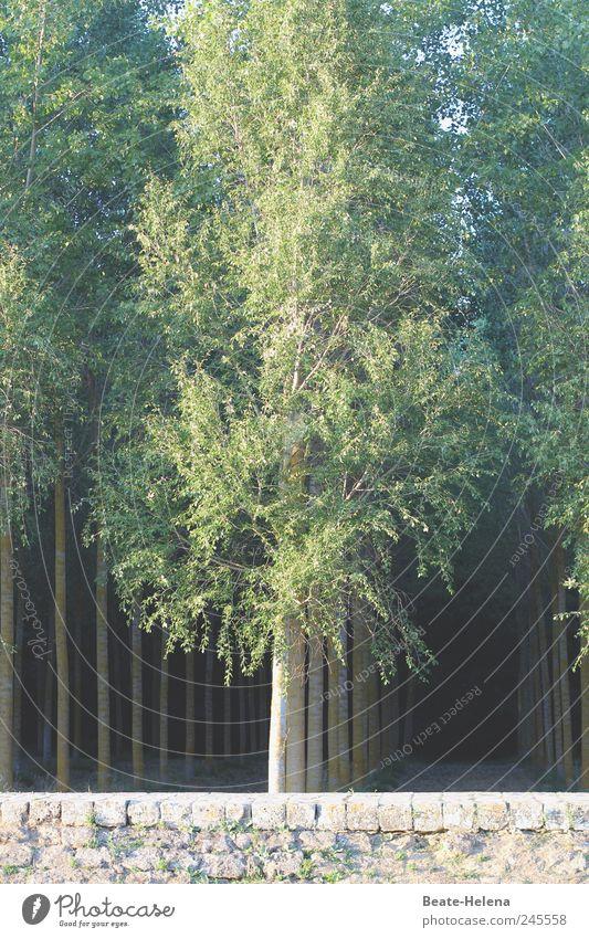 Kultivierte Baum-Hochschule Natur grün Sommer Ferien & Urlaub & Reisen Wald dunkel Wand Landschaft Mauer Linie braun wandern ästhetisch bedrohlich