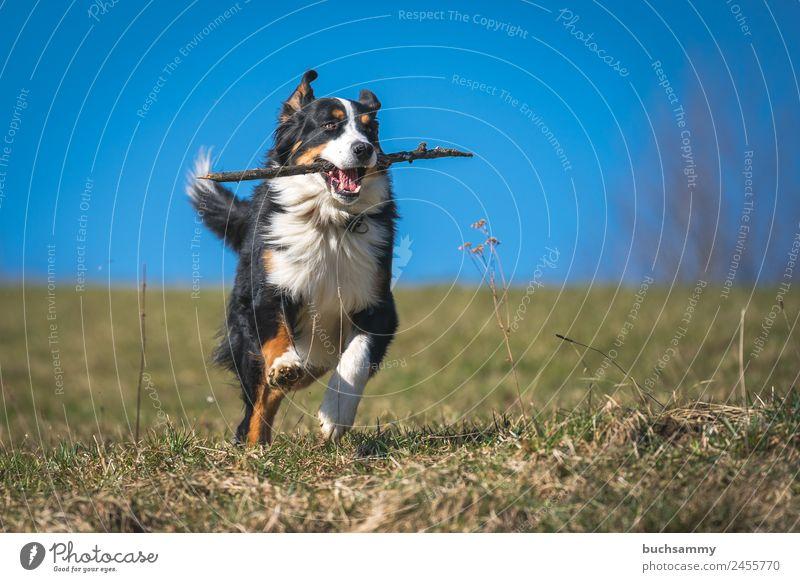 Berner Sennenhund beim apportieren Tier Frühling Schönes Wetter Wiese Haustier Hund 1 rennen Spielen sportlich Geschwindigkeit blau grün schwarz weiß Stock