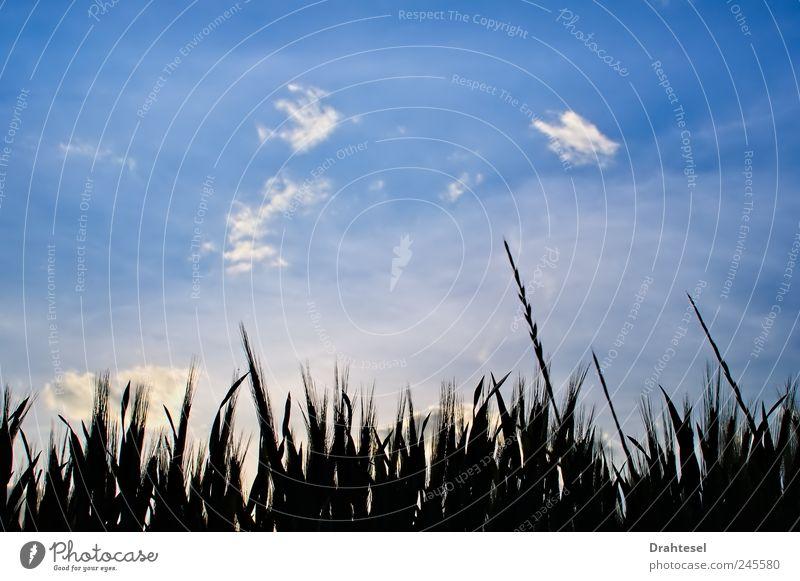 Himmelsträumer Umwelt Natur Pflanze Wolken Sommer Gras Wiese Feld träumen blau schwarz ruhig Frieden Horizont Farbfoto Außenaufnahme Menschenleer Abend