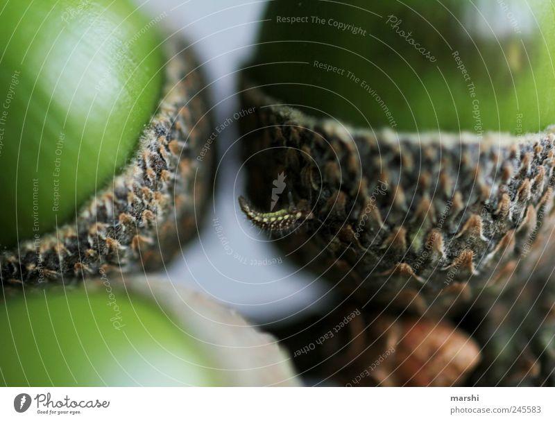 da steckt wer fest Umwelt Natur Pflanze Tier braun grün Wurm Raupe Eicheln Frucht Detailaufnahme Nahaufnahme Farbfoto Außenaufnahme