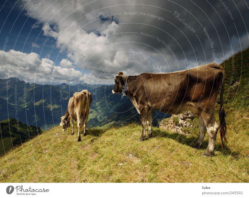 Zwei Kühe Natur Sommer Wolken Ferne Tier Berge u. Gebirge Landschaft Umwelt braun Felsen Tourismus Klima Hügel Alpen Neugier Gipfel