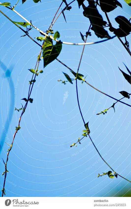 Ranken Himmel Pflanze Blume Blatt Blüte Garten Herz Wachstum Schrebergarten herzförmig Kleingartenkolonie