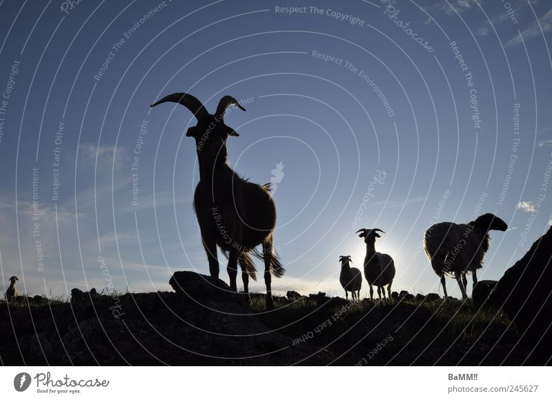 wir sind da! Himmel Natur Ferien & Urlaub & Reisen Sonne Sommer Tier dunkel Horizont Felsen wild wandern Tiergruppe Schönes Wetter entdecken Schaf Mut