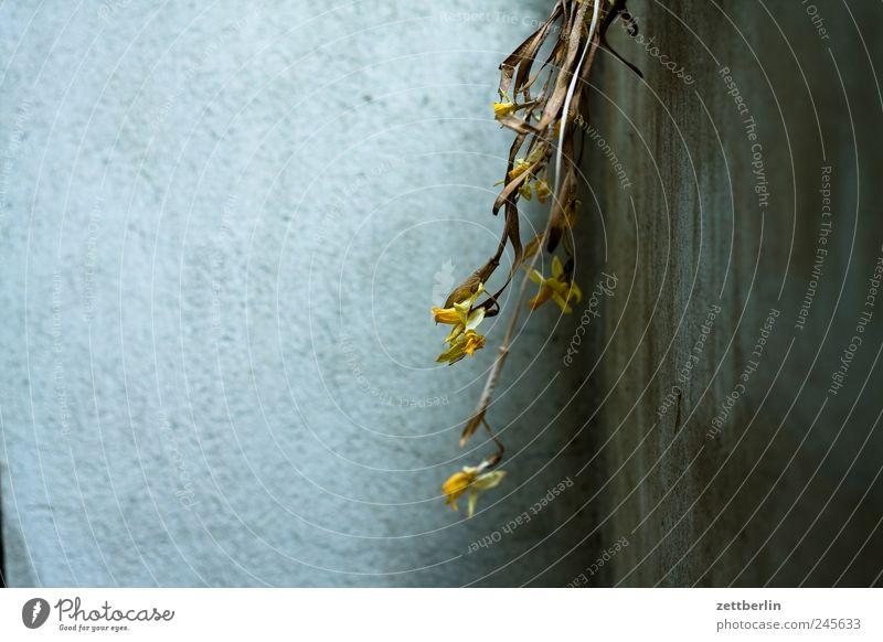 Blumen Blühend Blüte Frühling Garten Schrebergarten Natur Pflanze wallroth Wand Mauer Putz rau Ecke Zimmerecke Nische getrocknet vertrocknet verdorrt verblüht