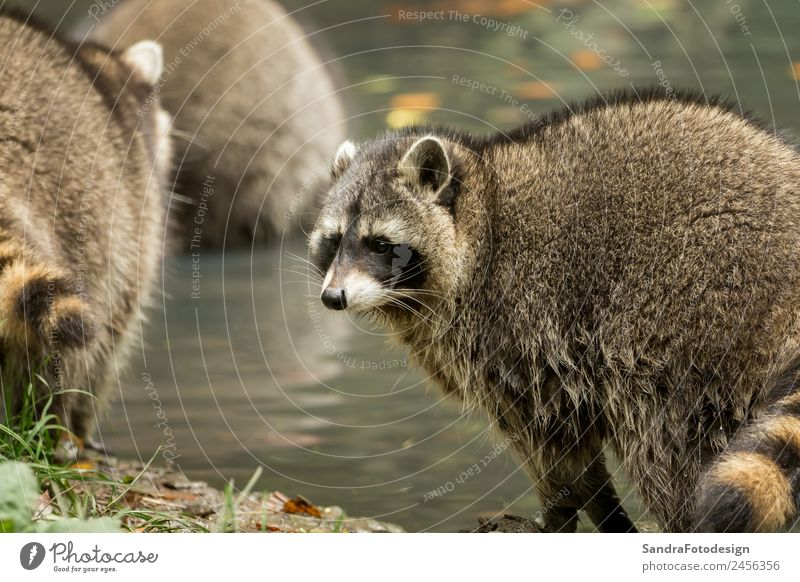 Some raccoons play outside by the water Zoo Natur Tier Wasser Park Wildtier 1 Tierliebe animal mammal wildlife fur natural fall cute tree river pond mask