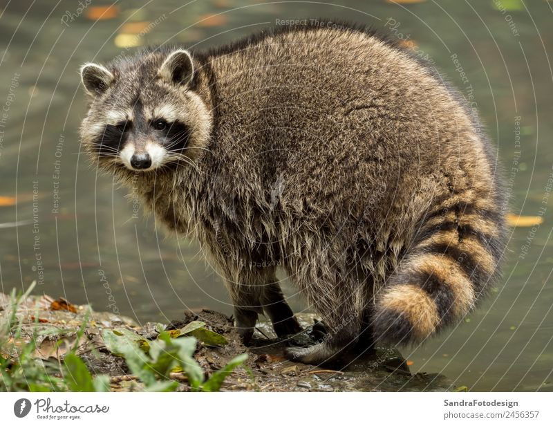 A raccoon plays outside on the water Zoo Natur Tier Wasser Park Wildtier 1 Tierliebe animal mammal wildlife fur natural fall cute tree river pond mask critter
