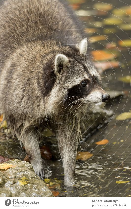 A raccoon plays outside on the water Natur Wasser Tier Park Wildtier Zoo Tierliebe