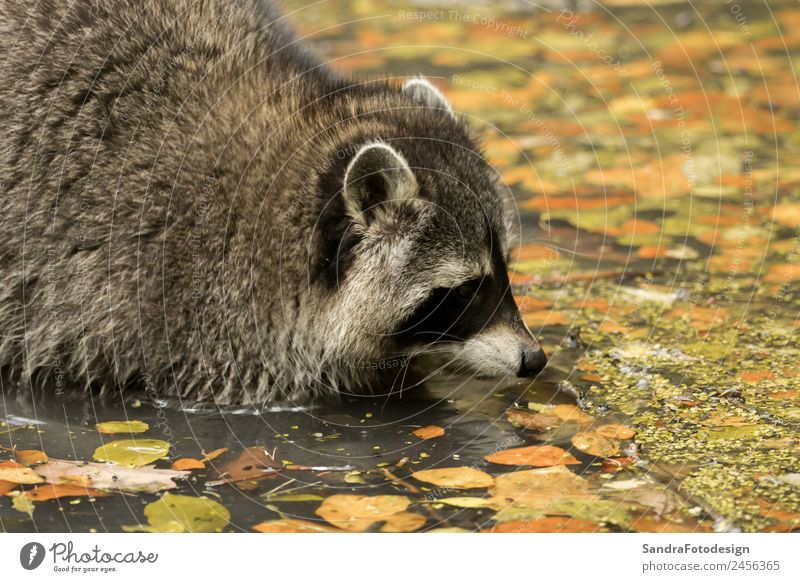 A raccoon plays outside on the water Zoo Natur Tier Wasser Garten Park Wildtier 1 Tierliebe animal mammal wildlife fur natural fall cute tree river pond mask