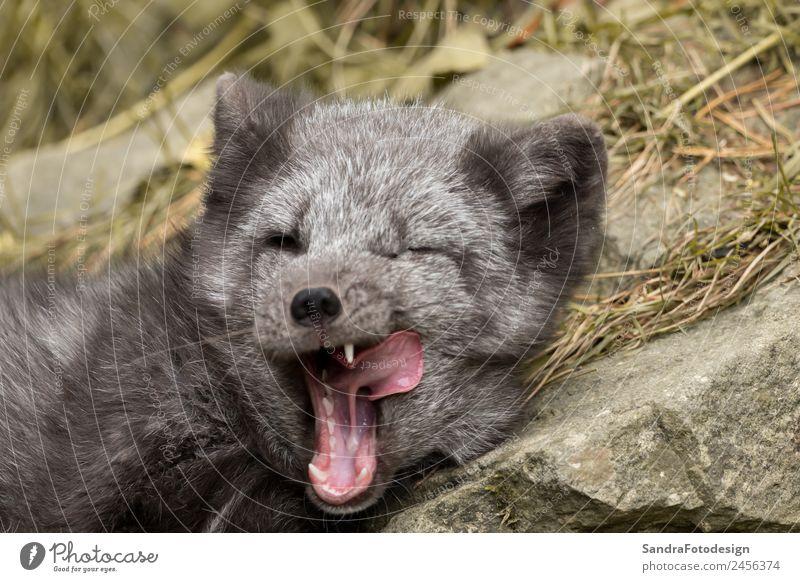 A polar fox lies on a rock and yawns Baby Zoo Natur Tier Garten Park Wildtier 1 Tierjunges Tierliebe fur mammal wild animal arctic young wildlife northern close