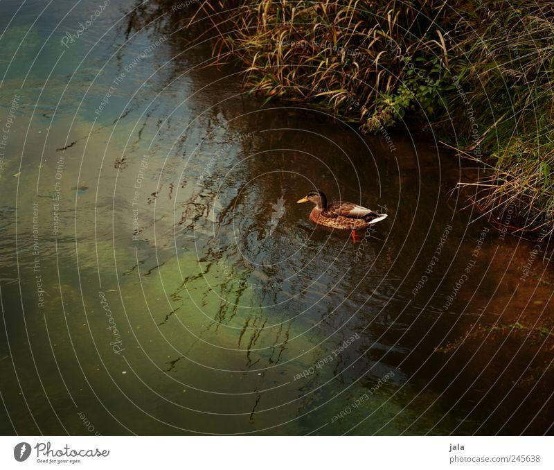 ente Natur grün Pflanze Tier Gras Landschaft Umwelt braun Schwimmen & Baden natürlich Wildtier Ente Bach Grünpflanze Wildpflanze