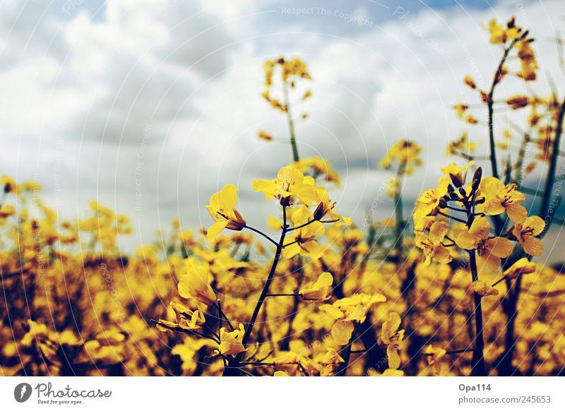 Rapsfeld Umwelt Natur Landschaft Pflanze Himmel Wolken Sonnenlicht Sommer Wetter Schönes Wetter Nutzpflanze Feld Blühend Wachstum weich blau braun gelb gold