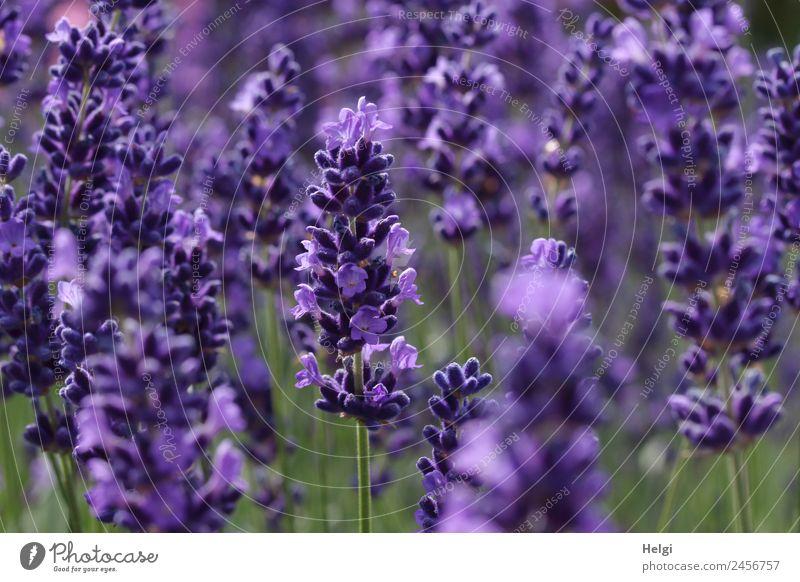 zeitlos | Lavendelduft Umwelt Natur Pflanze Sommer Schönes Wetter Blüte Park Blühend Duft Wachstum schön natürlich grün violett ästhetisch Lavendelblüte
