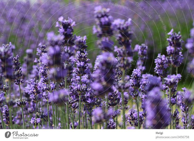 zeitlos | Lavendelduft II Umwelt Natur Pflanze Sommer Schönes Wetter Blume Blüte Park Blühend Duft stehen Wachstum ästhetisch schön natürlich grün violett