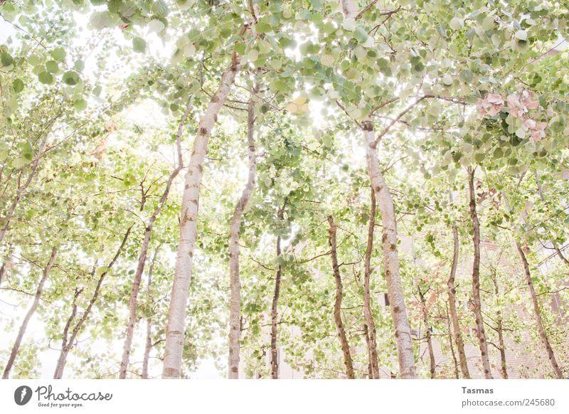 Home Zufriedenheit Erholung ruhig Meditation Ferien & Urlaub & Reisen Umwelt Natur Sommer Pflanze Baum Blatt Wald Birke Birkenwald alt beobachten Wachstum