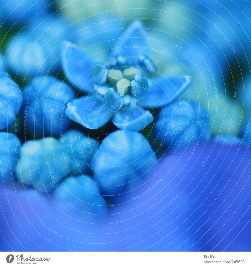 blau blühende Tellerhortensie Hortensie Hydrangea Hydrangea serrata Hortensienknospen Japanische Berghortensie Innenblüten blühende Hortensie Hortensienblüte